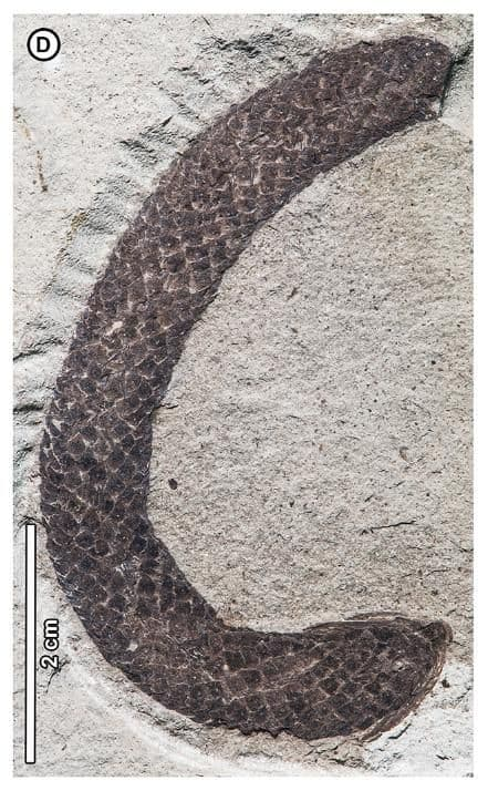 Polen de Araucaria huncoensis