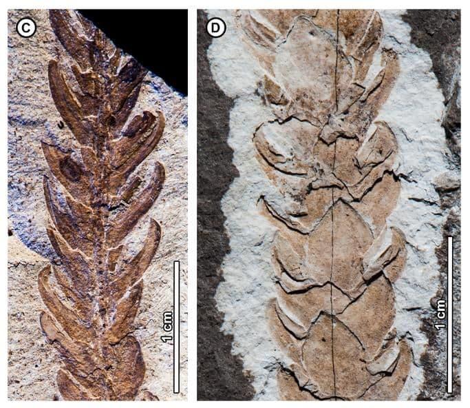 Araucaria huncoensis